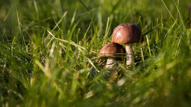 Fête du champignon