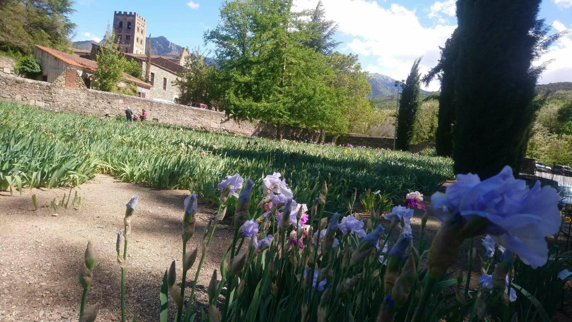 Iris de l'abbaye Saint Michel de Cuixa