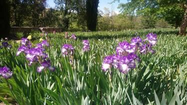 Les Iris de Saint Michel de Cuixa